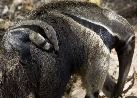 giant anteater baby on back