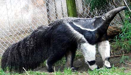 giant anteater striped
