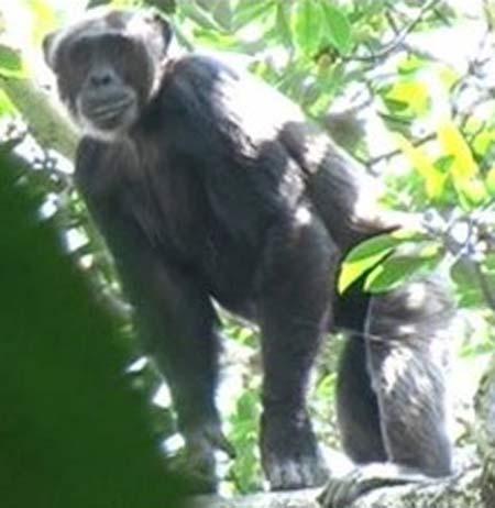 bili ape in the wild