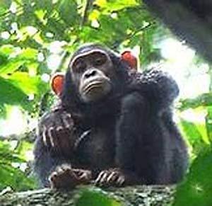 bondo mystery ape perched