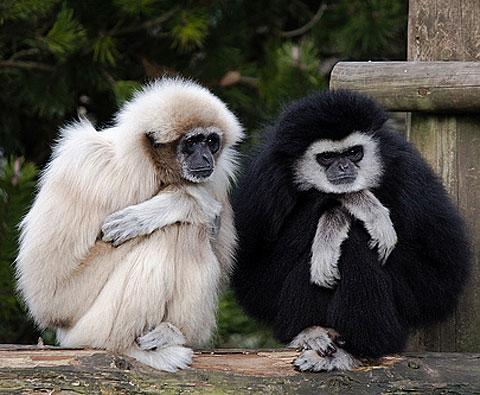 gibbons huddle