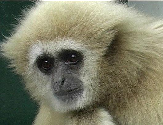 head primate