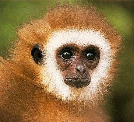 orange gibbon