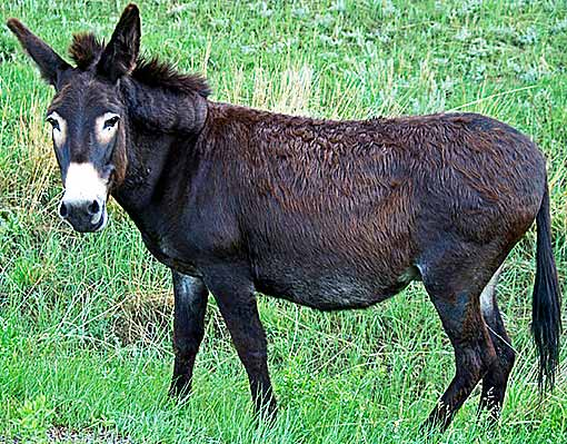 North American wild donkey