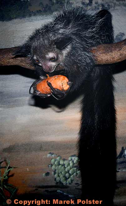 Aye-aye | Animal Pictures and Facts | FactZoo.