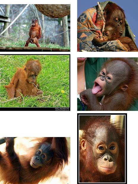 Orangutans of Borneo and Sumatra | Animal Pictures and Facts ...
