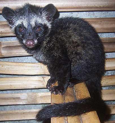 baby palm civet