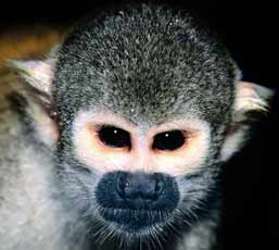 baby squirrel monkeys for sale