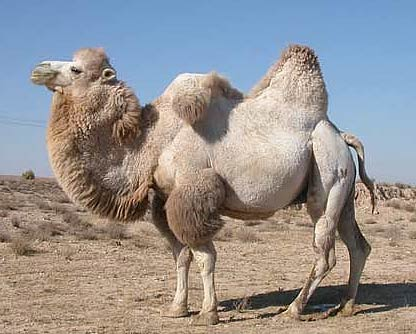 Two Hump Camel http://www.factzoo.com/mammals/bactrian-camel-two-hump-asian.html