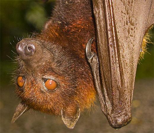 brown fruit bat