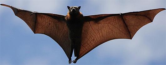 flying fox fruit australia
