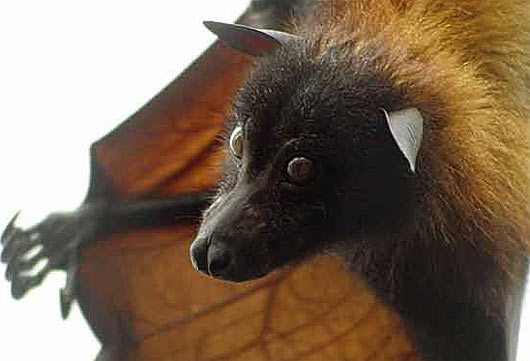 golden crowned giant flying fox head