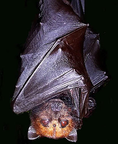golden crowned giant fruit bat