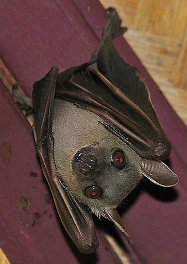 greater short nosed bat hanging