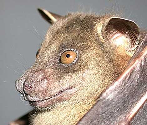 greater short nosed bat