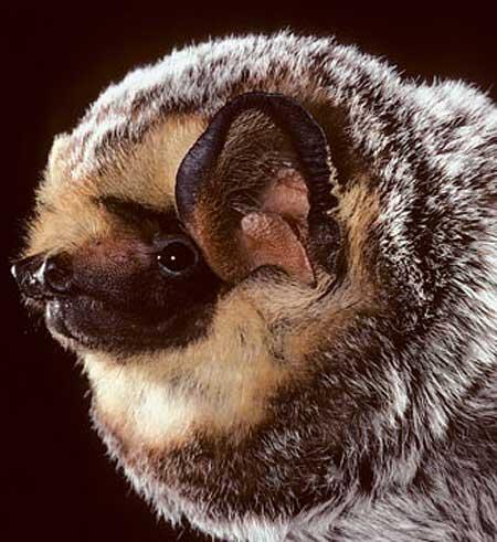 hoary bat head