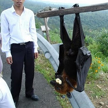 large specimen flying fox