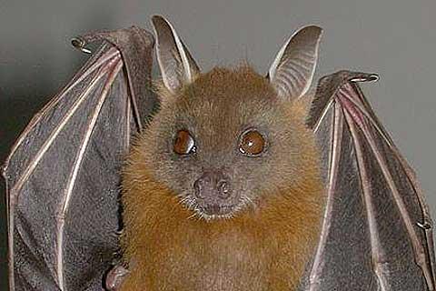 short nosed bat