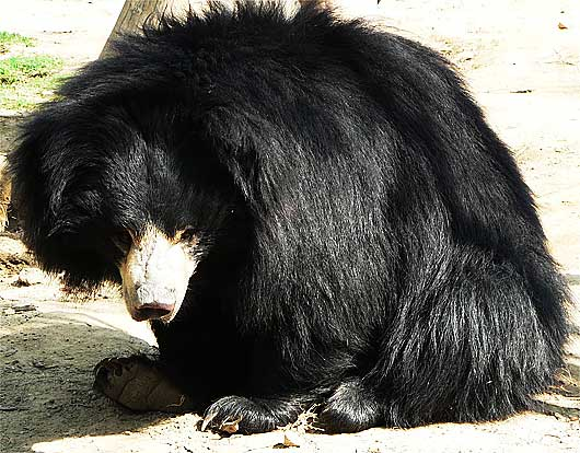 furry sloth honey bear