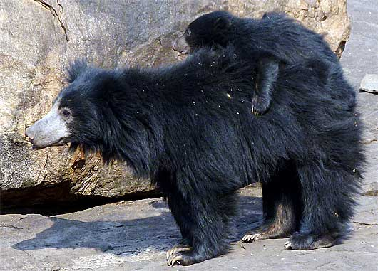 mother cub sloth bear