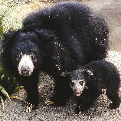 mother with cub bear