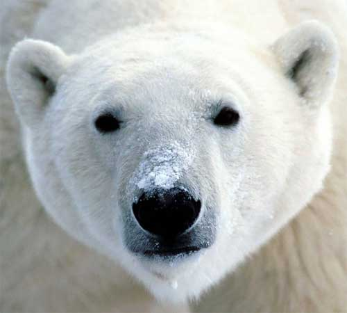 polar bear head