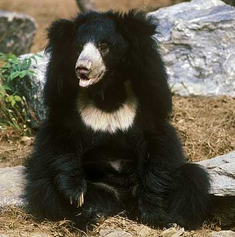 shaggy sloth bear