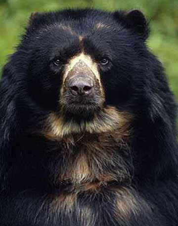 spectacled andean bear
