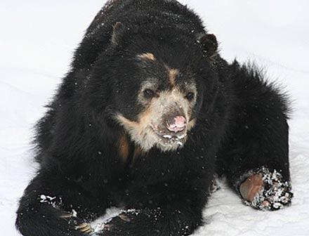 short faced bear Tremarctos ornatus
