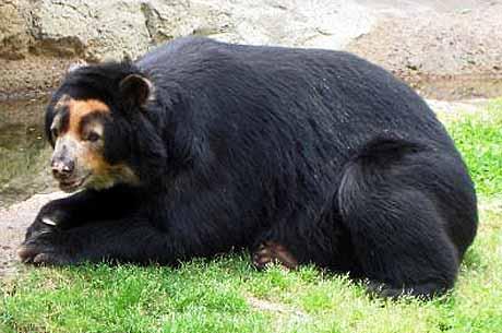 south american bear Tremarctos ornatus