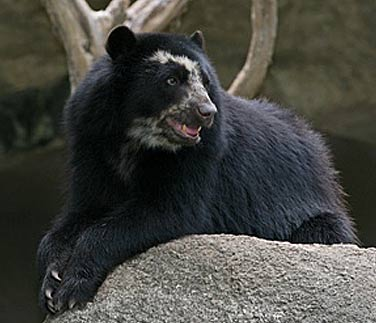 spectacled bears