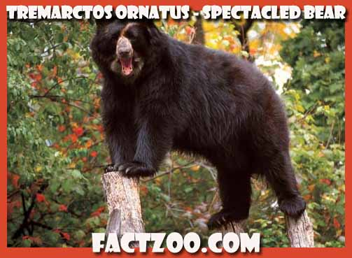 spectacled bear Tremarctos ornatus