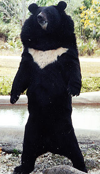 standing asian black bear