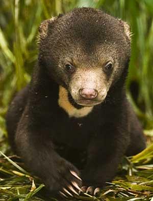 sun bear cub