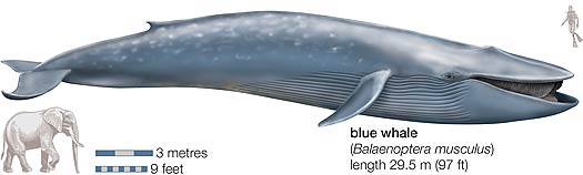 whale compared to diver and elephant