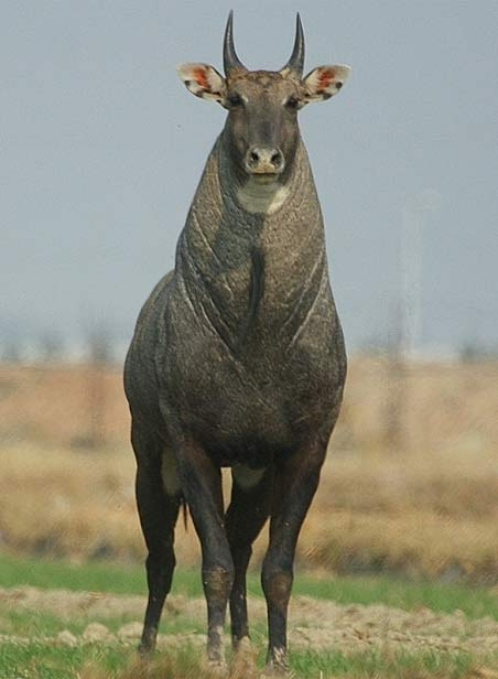 Nilgai - Blue Bull of India | Animal Pictures and Facts | FactZoo.