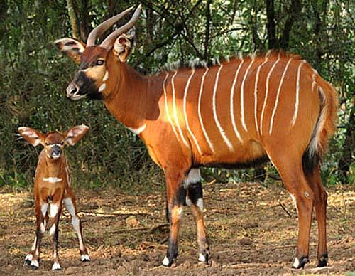 mama calf