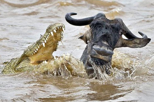 crocodile wildebeest