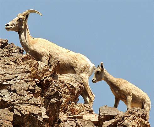 ewe lamb desert