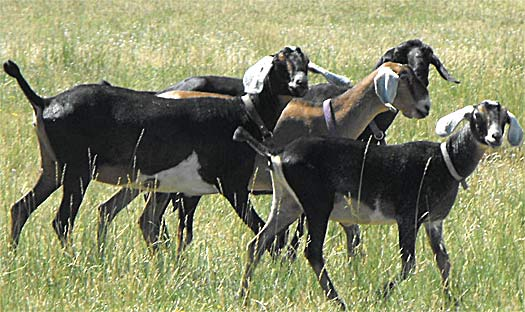 group a goats