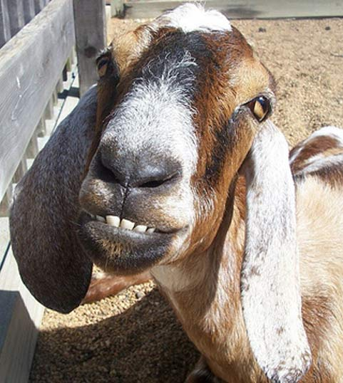 20 Pictures Of Goats Smiling Like Humans