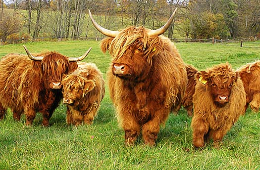 hairball-cows.jpg