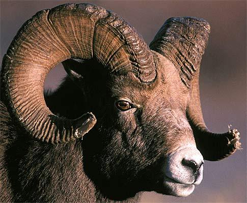 impressive horns