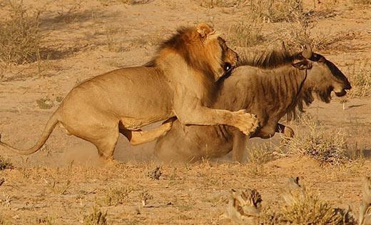 lion wildebeest