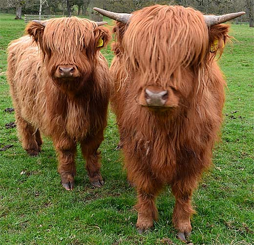 red hairy cattle