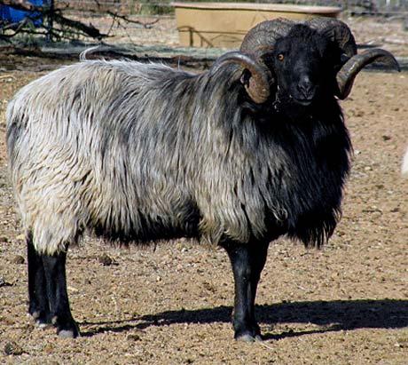 black white ram