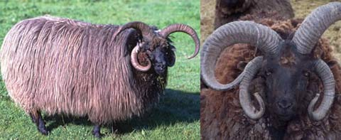 brown horned sheep