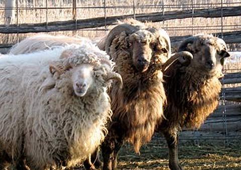 albino black sheep oedipus essay