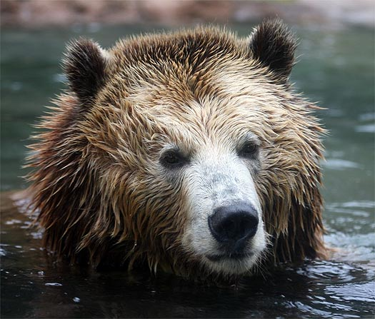 head of brown bear in river
