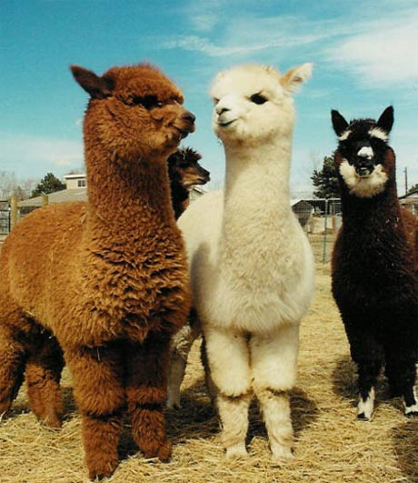 alpacas handsome little woolly camels animal pictures and facts